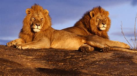 Predator Lions Sitting On Rock With Cloudy Sky Background
