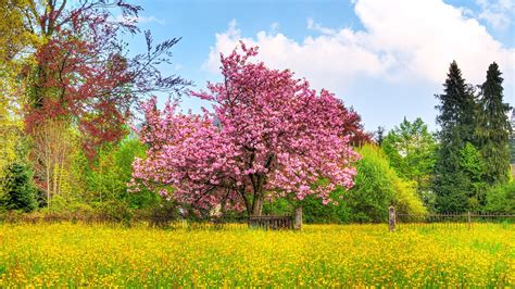 Cherry Tree HDTV 1080p Wallpapers   HD Wallpapers   ID #6643