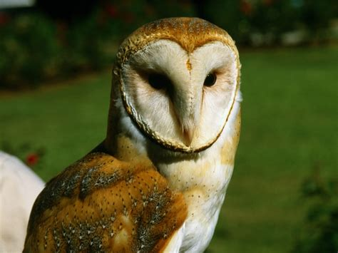 Bird sounds and songs of the Barn Owl | The Old Farmer's