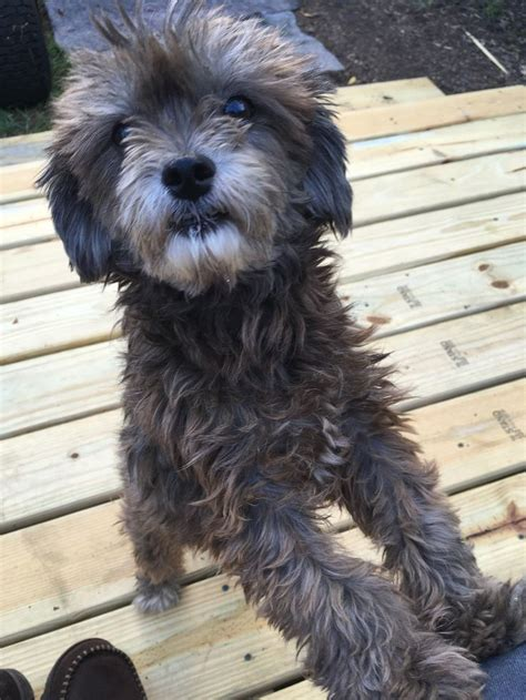 Pin by carmen crespo on Daisy | Terrier mix, Terrier, Poodle